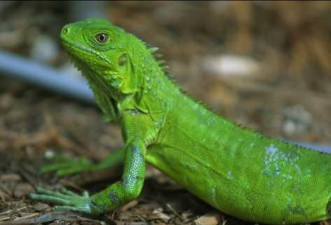 Iguana_PREIMA20120810_0419_37